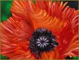Turkenlouis Poppy